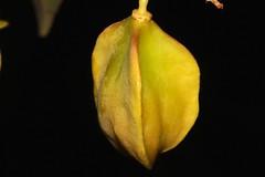 Toechima pterocarpum (andreas lambrianides) Tags: tamarind australianflora australiannativeplants sapindaceae arfp australianrainforests australianrainforestplants orangetamarind bushytamarind qrfp arffs australianrainforestfruits toechimapterocarpum australianrainforestseeds yellowarffs tropicalarf australianrainforestfruitsandseeds