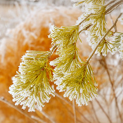 kissed with frost (anniedaisybaby) Tags: winter snow macro pine rural frost bokeh prairie winterwonderland interlake prose bsquare notexture notopaz soocwithminorediting
