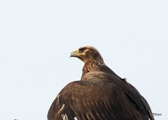 Golden Eagle (T0nyJ0yce) Tags: wild bird nature canon eagle wildlife raptor goldeneagle birdofprey juvenileeagle wildeagle specanimal tamron150600
