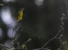 Female Olive-backed Sunbird (Ralph Green) Tags: bird birds female australia queensland portdouglas olivebackedsunbird nectariniajugularis yellowbelliedsunbird yellowbreastedsunbird