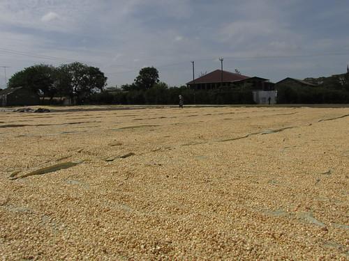 Céréales qui sèchent au soleil, Nakuru, Kenya