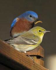 hungry yard birds