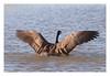 Branta canadensis - Canada Goose (Marc Nollet) Tags: bird birds birding vogels canadagoose brantacanadensis bading vogel badderen natuurfotografie uitkerksepolder bernacheducanada uitkerke grotecanadesegans nollet vogelfotografie