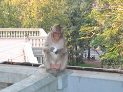 Long Tailed Macaque in Phnom Penh