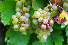 Grapes (KSchnitzer) Tags: city river wine stadt area trier mosel wein weinberge