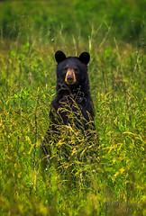 Standing Bear (Ron Harbin Photography) Tags: bear park portrait mountain black weeds great lovers national smokey gsmnp