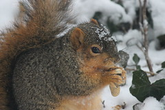 Squirrel Appreciation Day at the University of Michigan (January 21, 2015) (cseeman) Tags: winter snow cold animal campus squirrels eating michigan annarbor peanut snowing universityofmichigan nationalsquirrelappreciationday squirrelappreciationday umsquirrels01212015 squirrelappreciationday2015 januaryumsquirrel