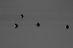 jubilee river black and white (spencerrushton) Tags: park light blackandwhite sun abstract bird texture beautiful canon river eos daylight duck day availablelight jubilee ducks tufted spencer rushton 600d canon600d spencerrushton