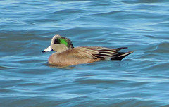 American Wigeon (Craigs Travels) Tags: birds birding ducks morrobay americanwigeon anasamericana baldpate americanwidgeon sweetspringsnaturepreserve