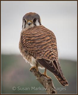 American Kestrel - San Jacinto Wildlife Area