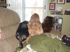 Frank's Solution (Tobyotter) Tags: dog frank dachshund link dackel teckel jimmydean doxie