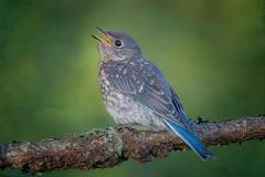 Baby Bluebird (Texture # 2) (Phiddy1) Tags: anna baby toronto ontario canada birds bluebird easternbluebird textue