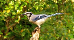 """The Imitater"" (Gary Helm) Tags: usa bird nature birds canon outside us backyard florida wildlife feathers bluejay hammocks swamps perch marsh intelligent sandhills squawk polkcounty flatwoods lakewales mixedforest sx60hs ghelm4747 garyhelm imitater"
