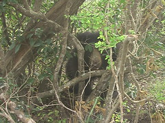 Sloth Bear Through Vines