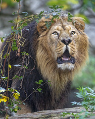 Roaring Asiatic lion