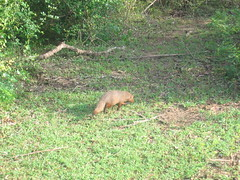 Golden Palm Civet