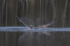 Splash Down - 031715-082554 (Glenn Anderson.) Tags: sky bird wings fishing feathers raptor osprey