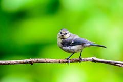 Juvenile blue tit (Cyanistes caeruleus) (Andrea Bovolo) Tags: blue bird sport nikon european tit sigma juvenile eurasian pimpelmees vogel caeruleus uccello cyanistes passerine vogelbescherming uccellino paridae cinciarella d7100 150600 dirdwatching