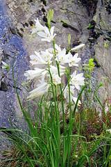 Paradisea liliastrum (paradsia) - ASPARAGACEAE [=LILIACEAE] (Joan Simon) Tags: andorra asparagaceae floramuntanya
