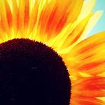 Light-enchanted Sunflower 7/22/16 thumbnail