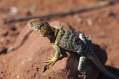 Collared lizard (Jeff Mitton) Tags: collaredlizard lizard macro earthnaturelife wondersofnature