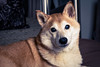 Saturdaze (Aw Snap!) Tags: light dog baby canon puppy 50mm maiko punkin selfie t6s 760d