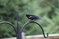 Red Winged Blackbird ~ HBW! (karma (Karen)) Tags: baltimore maryland home backyard birds redwingedblackbird dof bokeh bokehwednesdays hbw
