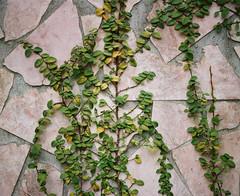 Leaves (C.Kunta) Tags: 6x7 120  iso80 kodakppn160 pentax67ii slr leaves