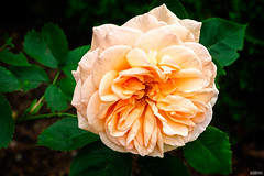 English Rose (ulibrox) Tags: rose outdoor pflanze pflanzen apricot rosen blume blte farben