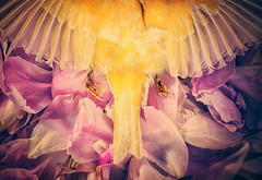 A Beautiful Goodbye (AJWeiss71) Tags: pink flowers stilllife flower bird nature beautiful loss beauty yellow dead death sadness petals wings sad wing feathers feather peony petal end canary melancholy sorrow ending amyweiss