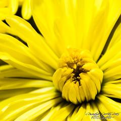 Yellow (El ojo etnogrfico) Tags: flores flowers flor bn bw amarillo yellow