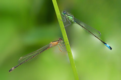 Double Act....... (klythawk) Tags: bluetaileddamselflies ischnuraelegans grassstem nature summer green orange blue brown grey black white olympus em1 omd 40150mm 14xtc colwickpark nottingham klythawk l
