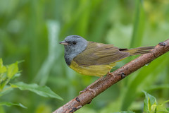 Mourning Warbler (Joe Branco) Tags: ontario canada green nature branco outdoors joe songbirds mourningwarbler nikond500 joebrancophotography lightroomcc2015 photoshopcc20155
