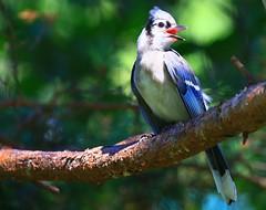 blue jay at Lake Meyer Park IA 854A3207 (lreis_naturalist) Tags: blue jay lake meyer park winneshiek county iowa larry reis