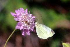 Pincushion and cabbage white (TJ Gehling) Tags: insect lepidoptera butterfly pieridae white whitebutterfly cabbagewhite cabbagewhitebutterfly pieris pierisrapae plant flower dipsacales caprifoliaceae scabiosa pincushion pincushionflower ohlonegreenway fairmontpark elcerrito