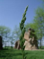 Foxtail, Hdmezvsrhely, Hungary (Norbert Bnhidi) Tags: hungary hdmezvsrhely csomorkny plant ungarn hungra hongrie ungheria hungria hongarije  magyarorszg