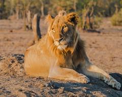 Posing (MarcCooper_1950) Tags: lion lioness africa wild wildlife bush safari bigfive predator bigcats biggame animals feline fauna goldenhour sabisands arathusa lodge marccooper panasonic lumix fz1000 leica iightrrom hdr
