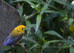 Prothontary Warbler Fledgling (Mike Woodfin) Tags: park county color nature contrast photoshop canon tampa photography photo cool nikon pretty fuji florida photos country picture photograph fl hillsborough hillsboroughcounty mikewoodfin mikewoodfinphotography