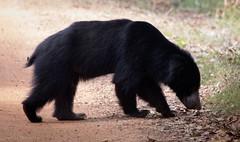 Sri Lankan Sloth Bear (ShehanT) Tags: bear nature animals wildlife mothernature slothbear wildlifephotography animallove wilpattu canonef70300mm canoneos70d wilpattunationalpark