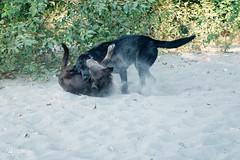 chase-roam-early-morning-mamquam-200816-ajbarlas-1230.jpg (A R D O R) Tags: ajbarlas ardorphotography blacklab chase chocolatelab dogs labrador puppy roam