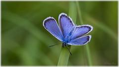 Reverdin's Blue (Plebejus argyrognomon) - Kronartsblavinge (Palmius Photo) Tags: butterly flri vrmland sweden kronartsblavinge plebejusargyrognomon reverdinsblue insekt insect closeup macro makro nrbild tamronsp90mm sp90mm tamron canon canon7dmarkii ngc npc naturallywonderful