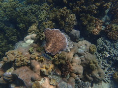 Coral at Michaelmas Cay (dracophylla) Tags: michaelmascay greatbarrierreef queensland australia