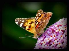 ich flattere dann mal in den Garten !!! (karin_b1966) Tags: schmetterling butterfly insekt insect garten garden natur nature 2016 distelfalter yourbestoftoday