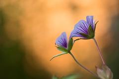 Golden hour bokeh (Gisou68Fr) Tags: geranium geraniumwallichianum critallake jardin garden géraniumvivace bokeh macro canoneos650d efs60mmf28macrousm summer été 2016 geraniaceae géraniacées