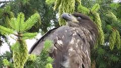 14 Weeks Old (shesnuckinfuts) Tags: americanbaldeagle haliaeetusleucocephalus baldeagle eagle riverbendeagles kentwa shesnuckinfuts july2016 14weeksold nature wildlife bird squawking video