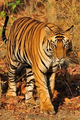 Bengal tiger, India, Bandhavgargh NP (ajwhitehead1979) Tags: bengaltiger bhandavgarh india royalbengaltiger tiger