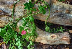 My recent artistic endeavor--faux bois (flowerweaver) Tags: cement sculpture fauxbois rusticotrabajo planter plant iceplant hdr hss art lostart flowerweaver