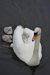 Swan family (Pim Stouten) Tags: zwaan swan labut cygnus cygnusolor witswaan hckerschwan schwan muteswan bird oiseau ptk vogel vol watervogel waterbird chick kuiken kken jong young