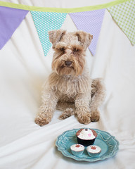 Quincy 1st Birthday (Cheryl3001) Tags: canon 28mm 70d dog schnauzer puppy first birthday pupcakes brown chocolate liver nik nikcollection banner