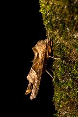 Angle Shades Moth - Phlogophora meticulosa (furball2011) Tags: phlogophorameticulosa angleshadesmoth strobist flash offcamera macro extensiontube insect moth outdoor closeup garden